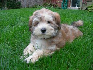 designer hunde til salg